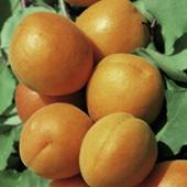 vanzare pomi fructiferi CAIS ciumbrud