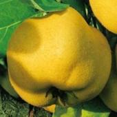 vanzare pomi fructiferi GUTUI  ciumbrud
