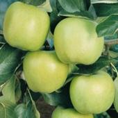 vanzare pomi fructiferi MAR ciumbrud