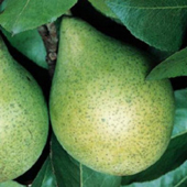 vanzare pomi fructiferi PERI ciumbrud