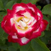 vanzare trandafiri  ciumbrud