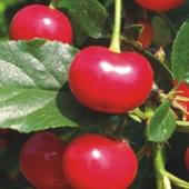 vanzare pomi fructiferi VISIN  ciumbrud